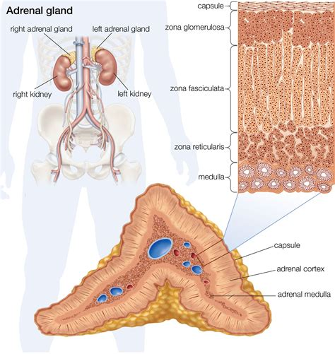 aging and adrenal cortex picture 6