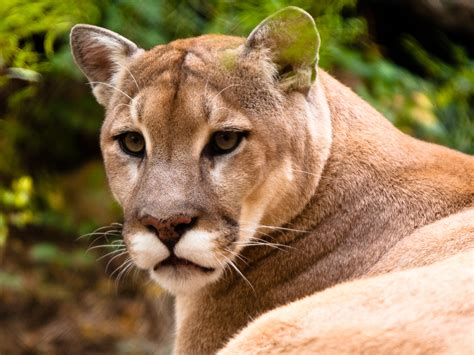 mountain lions diet picture 1