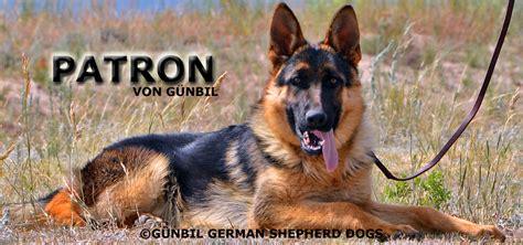 gunbil german shepherds complaints picture 6