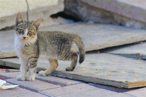 feline liver failure picture 11