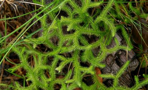 chinese club moss picture 2