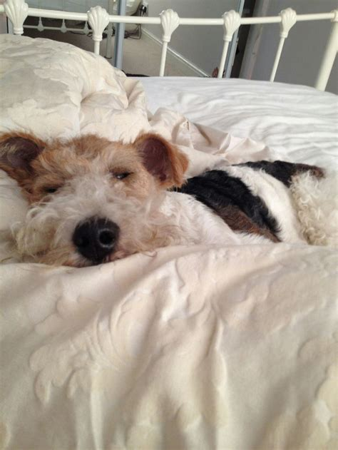 wire hair fox terrier rescue picture 14