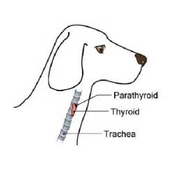 canine thyroid diseases picture 13