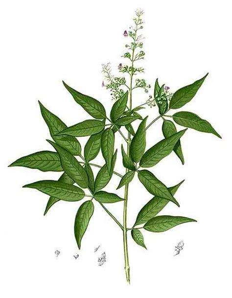sibucao tree herbal medicine picture 6