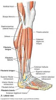 lateral lower leg muscle picture 14