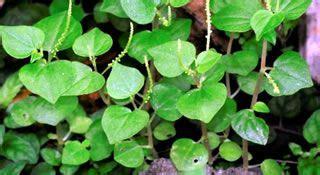 herbal medicine bato sa apdo picture 11