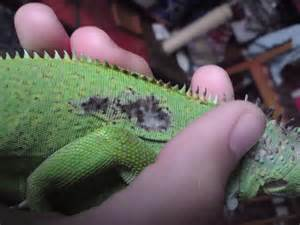 green iguana black in diseases picture 9