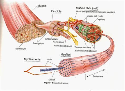 anatomy of skeletal muscle fiber picture 3