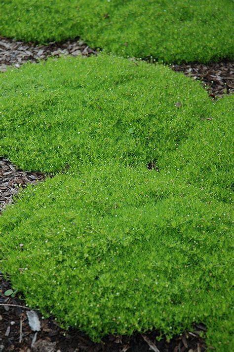 white irish moss picture 5