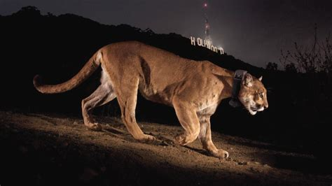 mountain lions diet picture 2
