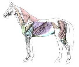 horse muscle system picture 14