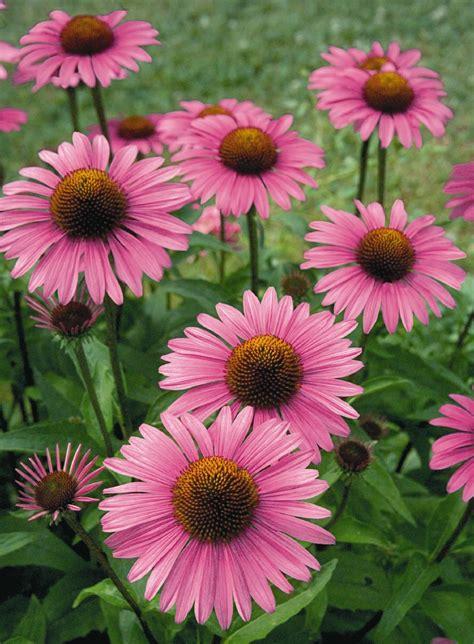 echinacea purpurea picture 9