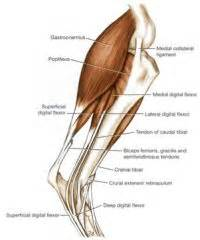 canine bicep joint picture 18