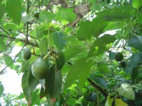 avacado keep green picture 9