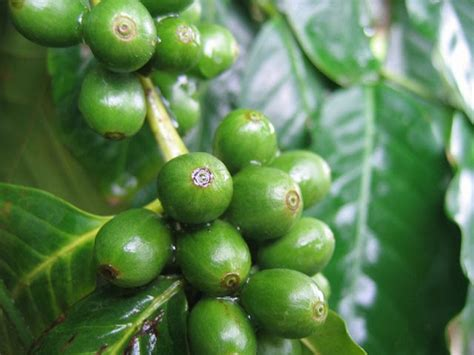 green coffee extract average weight loss 4 weeks picture 1