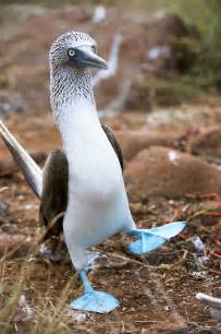 blue footed diet picture 6