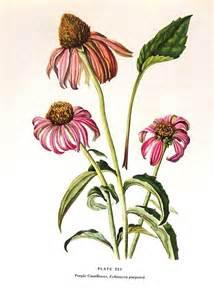 botanical, echinacea picture 1