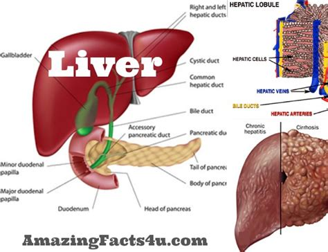 facts about the human liver picture 9