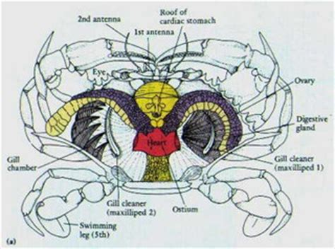 crab digestion picture 15