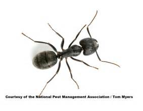name of skin of argentine ant picture 4