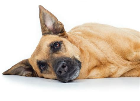 iiritable bowel disorder dogs picture 11