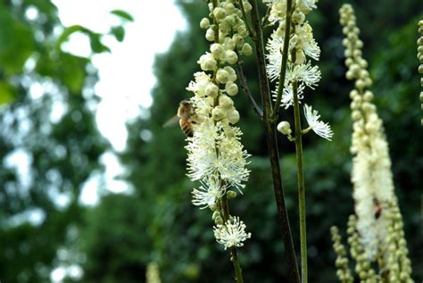 uses of black cohosh picture 2