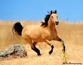 buck skin horse picture 5
