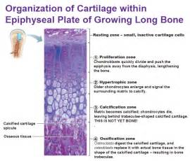 human growth hormone knee cartilage picture 2