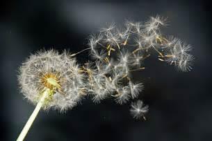 a dandelion picture 10