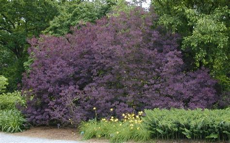caring for purple smoke trees picture 17
