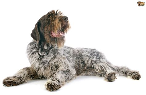 wire hair pointing griffon picture 18