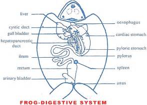 frog digestion picture 19