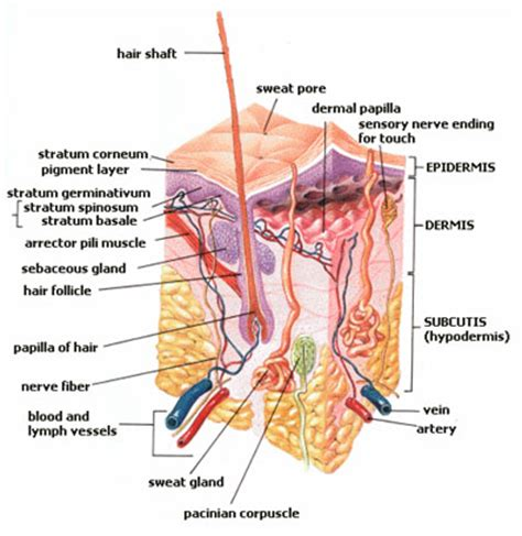 nerve regeneration and keratin picture 6