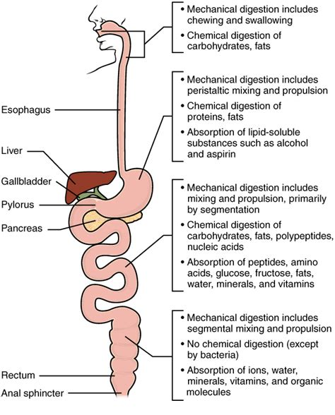 digestion diagram picture 3