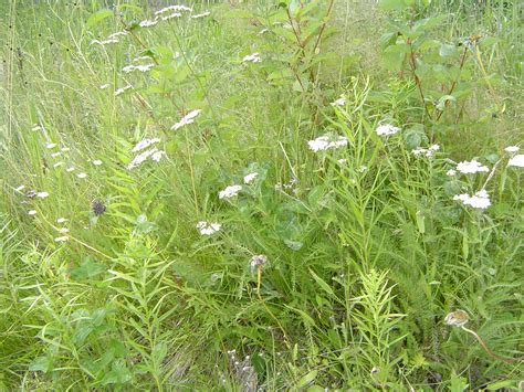 yarrow herb picture 6