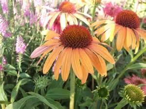 echinacea used for picture 9