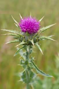 milk thistle herb picture 7