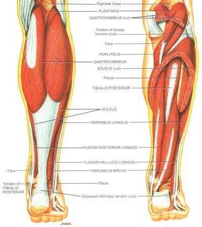 leg muscle illustration picture 3