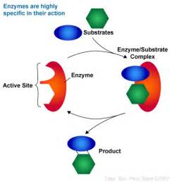 enzymes picture 10