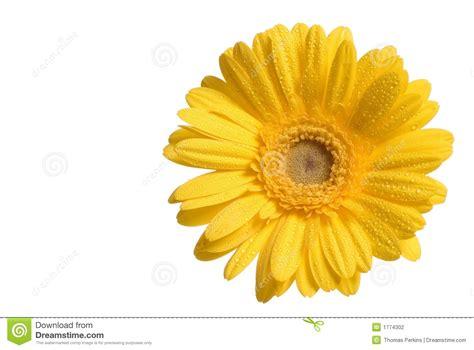 dandelion flower pictures picture 7