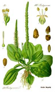 benefits of plantain herb picture 6