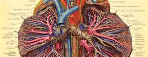 anatomy picture 13