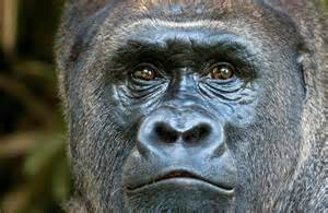 skin color in chimpanzees picture 1