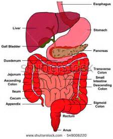 human bladder function picture 15