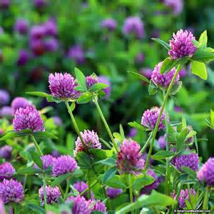 red clover seed picture 17