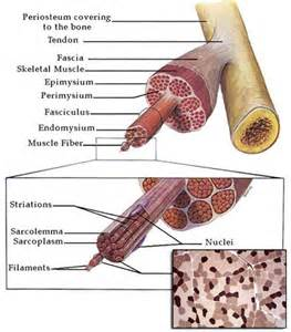 muscle fiber picture 7