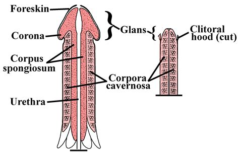 detailed diagram of the human penis picture 3