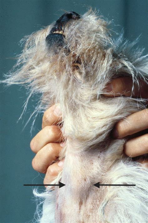 canine thyroid cancer symptoms picture 10