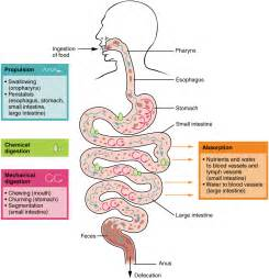 step by step of digestion and metabolism picture 6