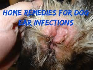 peroxide for relief of canine yeast infection picture 4